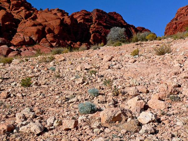 Desert Bearpoppy (Arctomecon Merriamii) https://www.sagebud.com/desert-bearpoppy-arctomecon-merriamii