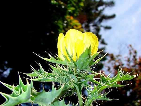 Mexican Pricklypoppy (Argemone Mexicana) https://www.sagebud.com/mexican-pricklypoppy-argemone-mexicana