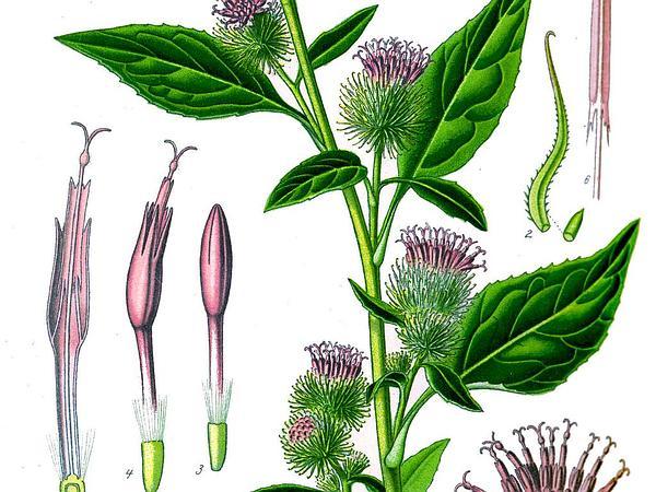 Lesser Burdock (Arctium Minus) https://www.sagebud.com/lesser-burdock-arctium-minus