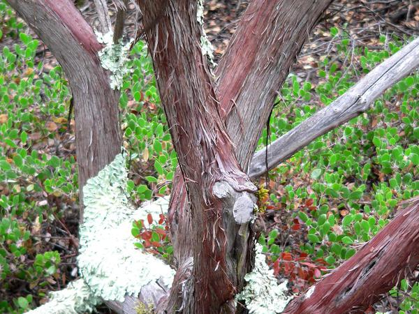 Morro Manzanita (Arctostaphylos Morroensis) https://www.sagebud.com/morro-manzanita-arctostaphylos-morroensis