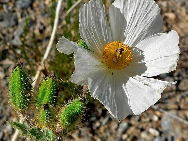 Flatbud Pricklypoppy (Argemone Munita) https://www.sagebud.com/flatbud-pricklypoppy-argemone-munita