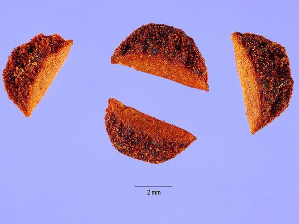 Pinemat Manzanita (Arctostaphylos Nevadensis) https://www.sagebud.com/pinemat-manzanita-arctostaphylos-nevadensis