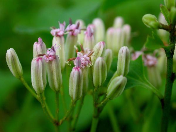 Indian Plantain (Arnoglossum) https://www.sagebud.com/indian-plantain-arnoglossum