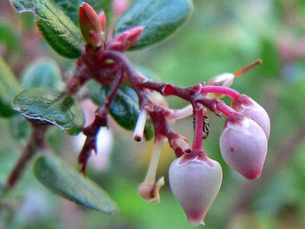 Glossyleaf Manzanita (Arctostaphylos Nummularia) https://www.sagebud.com/glossyleaf-manzanita-arctostaphylos-nummularia