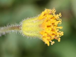Parry's Arnica
