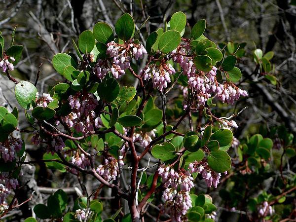 Greenleaf Manzanita (Arctostaphylos Patula) https://www.sagebud.com/greenleaf-manzanita-arctostaphylos-patula
