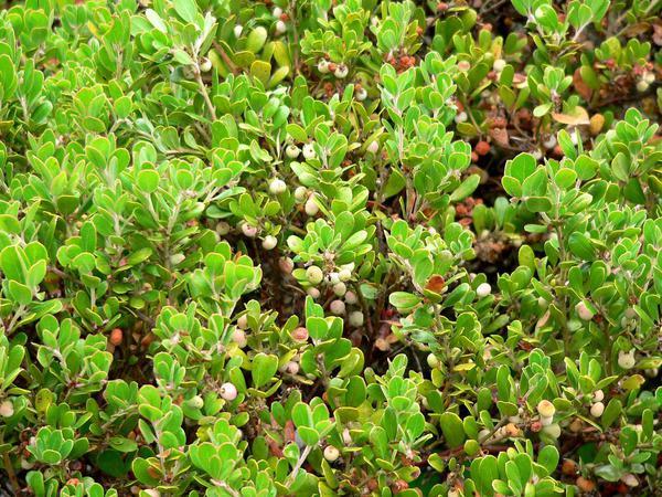 Sandmat Manzanita (Arctostaphylos Pumila) https://www.sagebud.com/sandmat-manzanita-arctostaphylos-pumila
