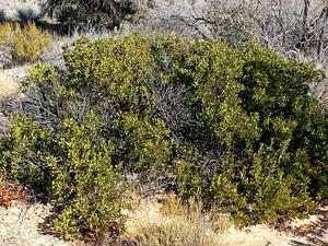 Pointleaf Manzanita