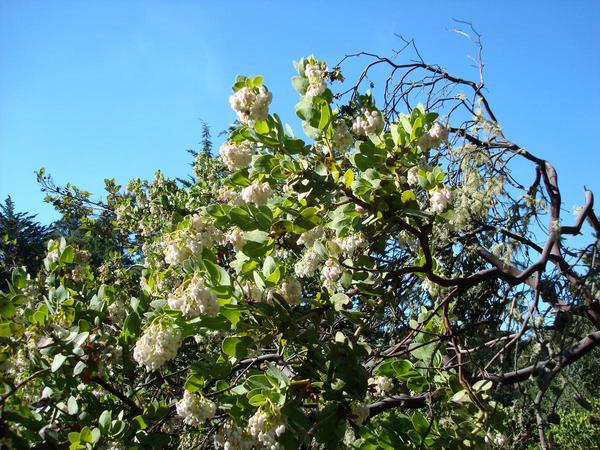 Refugio Manzanita (Arctostaphylos Refugioensis) https://www.sagebud.com/refugio-manzanita-arctostaphylos-refugioensis