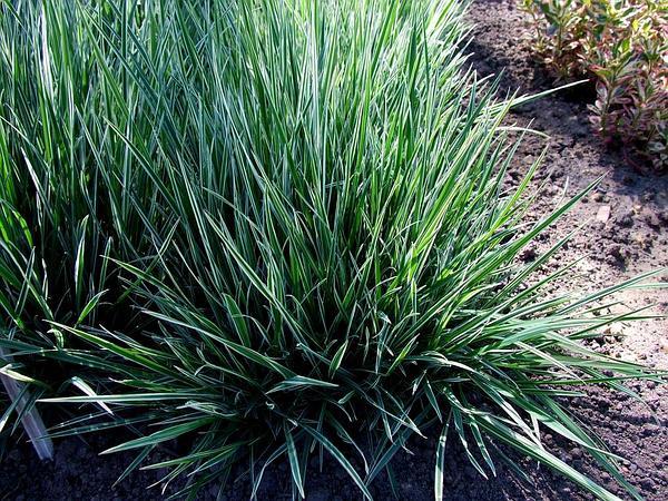 Oatgrass (Arrhenatherum) https://www.sagebud.com/oatgrass-arrhenatherum