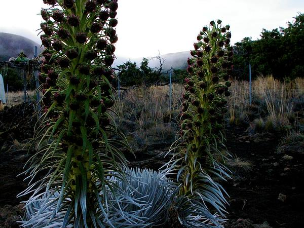 Hawai'I Silversword (Argyroxiphium Sandwicense) https://www.sagebud.com/hawaii-silversword-argyroxiphium-sandwicense