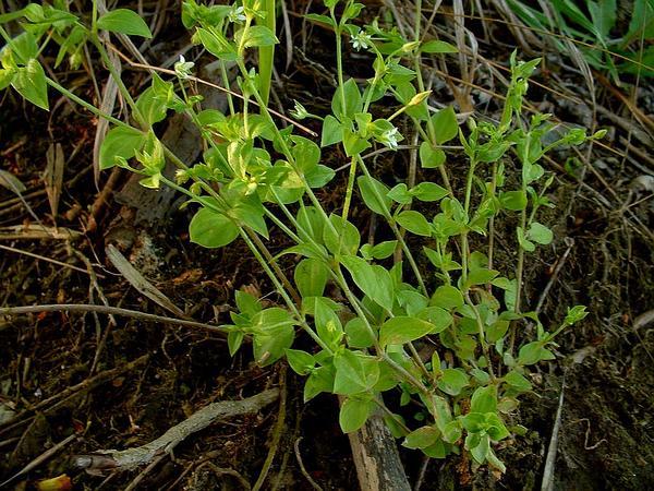 Thymeleaf Sandwort (Arenaria Serpyllifolia) https://www.sagebud.com/thymeleaf-sandwort-arenaria-serpyllifolia