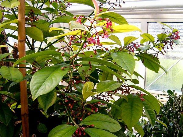 China-Shrub (Ardisia Solanacea) https://www.sagebud.com/china-shrub-ardisia-solanacea