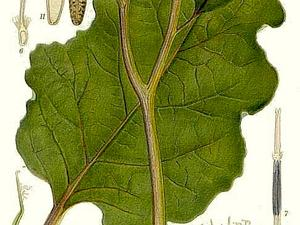 Woolly Burdock