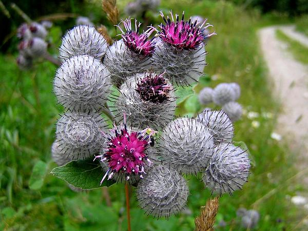 Woolly Burdock (Arctium Tomentosum) https://www.sagebud.com/woolly-burdock-arctium-tomentosum