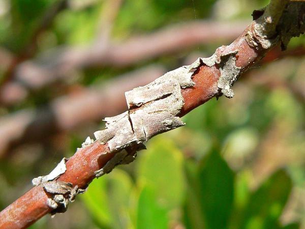 Woollyleaf Manzanita (Arctostaphylos Tomentosa) https://www.sagebud.com/woollyleaf-manzanita-arctostaphylos-tomentosa