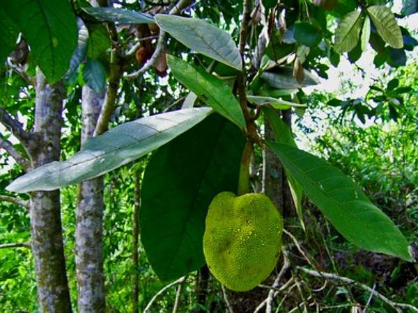 Breadfruit (Artocarpus) https://www.sagebud.com/breadfruit-artocarpus