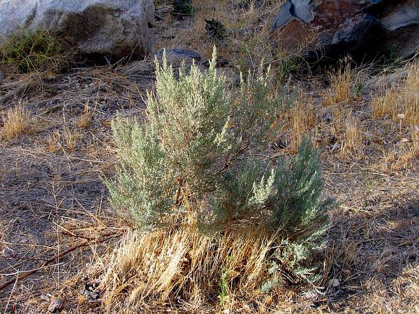 Big Sagebrush (Artemisia Tridentata) https://www.sagebud.com/big-sagebrush-artemisia-tridentata