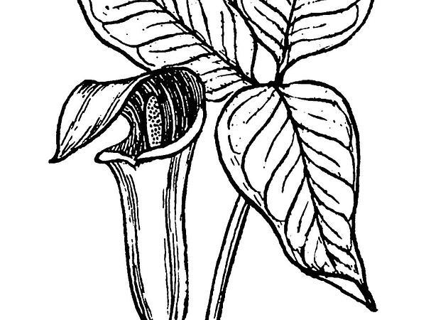 Arum (Arum) https://www.sagebud.com/arum-arum
