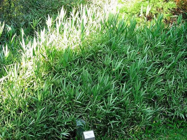 Cane (Arundinaria) https://www.sagebud.com/cane-arundinaria/