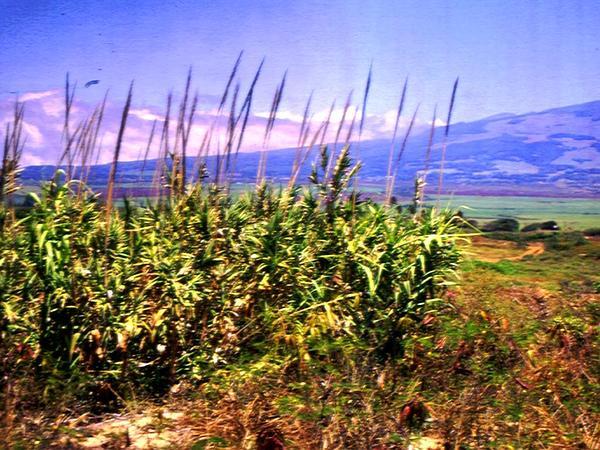 Giant Reed (Arundo) https://www.sagebud.com/giant-reed-arundo
