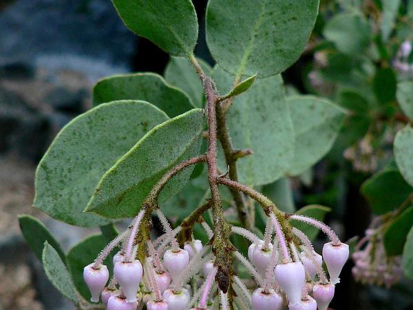 Sticky Whiteleaf Manzanita (Arctostaphylos Viscida) https://www.sagebud.com/sticky-whiteleaf-manzanita-arctostaphylos-viscida