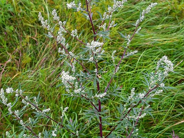 Common Wormwood (Artemisia Vulgaris) https://www.sagebud.com/common-wormwood-artemisia-vulgaris