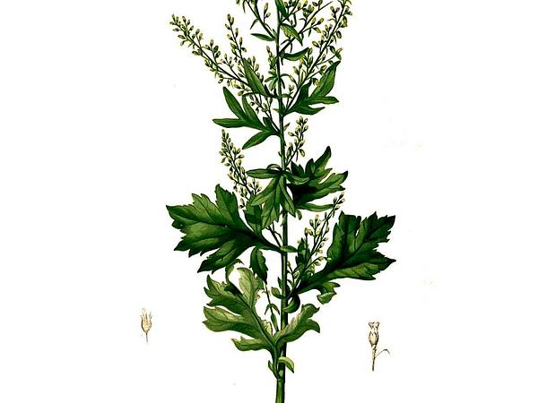 Common Wormwood (Artemisia Vulgaris) https://www.sagebud.com/common-wormwood-artemisia-vulgaris