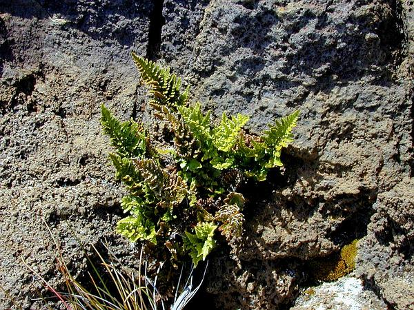 Black Spleenwort (Asplenium Adiantum-Nigrum) https://www.sagebud.com/black-spleenwort-asplenium-adiantum-nigrum