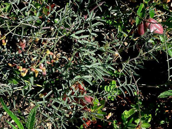 Clokey's Milkvetch (Astragalus Aequalis) https://www.sagebud.com/clokeys-milkvetch-astragalus-aequalis