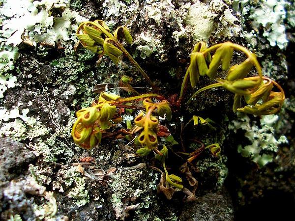 Egyptian Spleenwort (Asplenium Aethiopicum) https://www.sagebud.com/egyptian-spleenwort-asplenium-aethiopicum