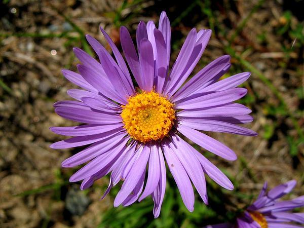 Alpine Aster (Aster Alpinus) https://www.sagebud.com/alpine-aster-aster-alpinus
