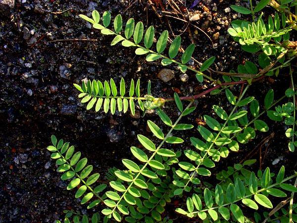 Alpine Milkvetch (Astragalus Alpinus) https://www.sagebud.com/alpine-milkvetch-astragalus-alpinus