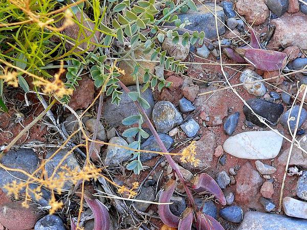 Crescent Milkvetch (Astragalus Amphioxys) https://www.sagebud.com/crescent-milkvetch-astragalus-amphioxys