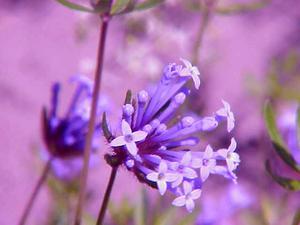 Blue Woodruff