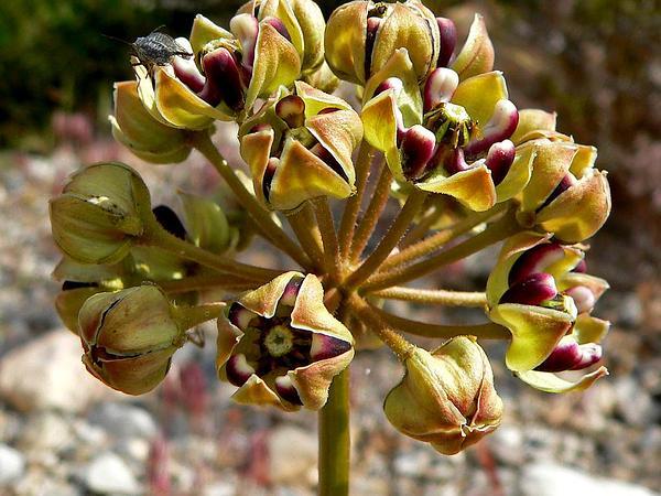 Spider Milkweed (Asclepias Asperula) https://www.sagebud.com/spider-milkweed-asclepias-asperula/
