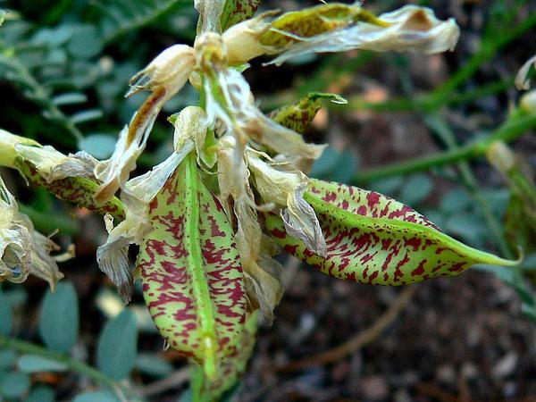 Beckwith's Milkvetch (Astragalus Beckwithii) https://www.sagebud.com/beckwiths-milkvetch-astragalus-beckwithii