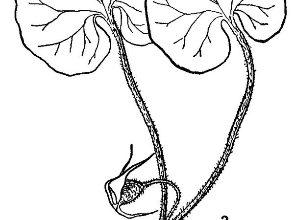 Canadian Wildginger (Asarum Canadense) https://www.sagebud.com/canadian-wildginger-asarum-canadense