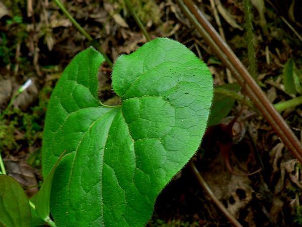 British Columbia Wildginger (Asarum Caudatum) https://www.sagebud.com/british-columbia-wildginger-asarum-caudatum