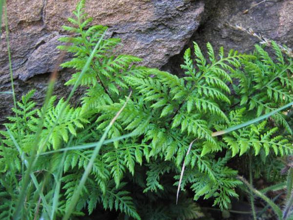 California Lacefern (Aspidotis Californica) https://www.sagebud.com/california-lacefern-aspidotis-californica