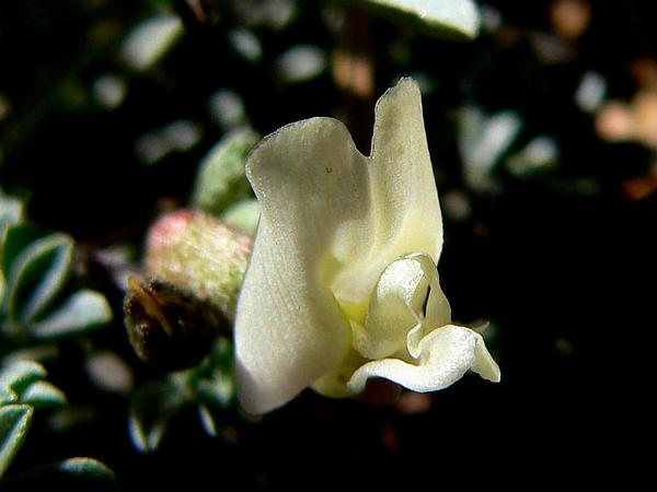 Torrey's Milkvetch (Astragalus Calycosus) https://www.sagebud.com/torreys-milkvetch-astragalus-calycosus