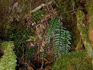 Forest Spleenwort
