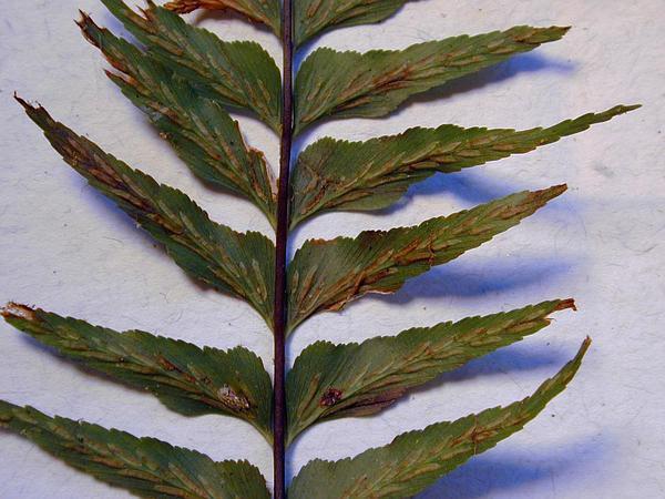 Forest Spleenwort (Asplenium Contiguum) https://www.sagebud.com/forest-spleenwort-asplenium-contiguum