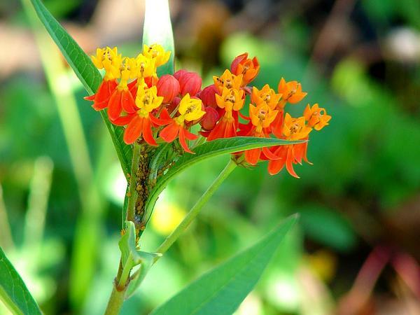 Bloodflower (Asclepias Curassavica) https://www.sagebud.com/bloodflower-asclepias-curassavica