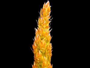Sprenger's Asparagus Fern