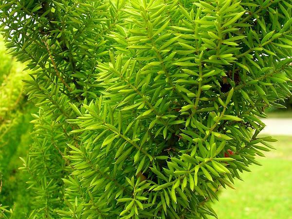 Sprenger's Asparagus Fern (Asparagus Densiflorus) https://www.sagebud.com/sprengers-asparagus-fern-asparagus-densiflorus