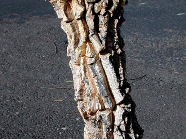 Desert Milkweed (Asclepias Erosa) https://www.sagebud.com/desert-milkweed-asclepias-erosa