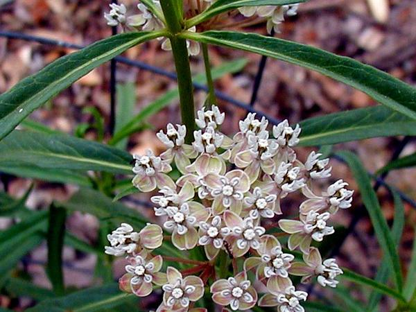 Mexican Whorled Milkweed (Asclepias Fascicularis) https://www.sagebud.com/mexican-whorled-milkweed-asclepias-fascicularis/