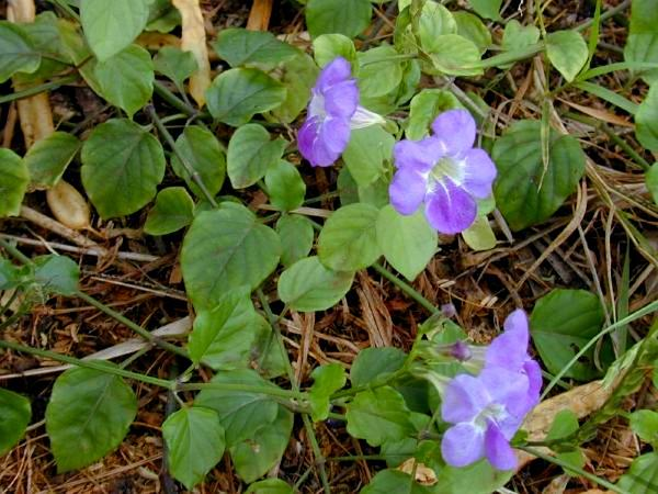 Chinese Violet (Asystasia Gangetica) https://www.sagebud.com/chinese-violet-asystasia-gangetica