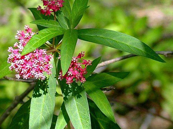 Swamp Milkweed (Asclepias Incarnata) https://www.sagebud.com/swamp-milkweed-asclepias-incarnata/